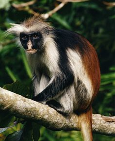 Kirk's Red Colobus