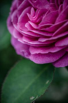 © bysahlia.com Gmunden Austria, Rose, Garden, Flowers, Plants, Pink, Garten, Lawn And Garden, Gardens