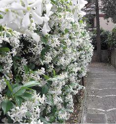 Toscaanse Jasmijn (Trachelospermum jasminoides), ook wel sterjasmijn genoemd, is een uitbundig bloeiende jasmijn met heerlijk geurende, witte bloemen. De Toscaanse Jasmijn heeft donkergroen, glanzend blad wat aan de plant blijft in de winter. De Jasmijn is een uitstekende klimmer en kan ook als bodembedekker gebruikt worden. Winterhard tot -17 graden.