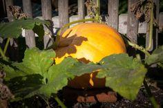 Growing a pumpkin for Halloween