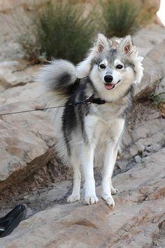 Alaskan Klee Kai - because my guys want a Siberian Husky, and I want a small doggie. Alaskan Klee Kai, Alaskan Husky, Beautiful Dogs, Animals Beautiful, Cute Animals, Mini Huskies, Siberian Huskies, Miniature Husky, Scottish Fold
