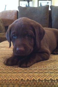 Chocolate Labrador Puppies   Champion Chocolate Labs
