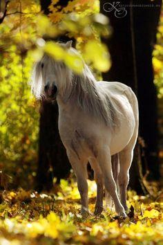 Welsh Pony, Katarzyna Okrzesik Photography