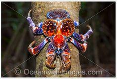 Coconut Crab: Coconut Crabs can climb trees. ~ (Wikipedia) - [www.oceanwideimages.com]