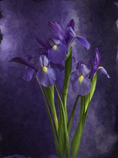 Iris: faith, hope and wisdom Iris Flowers, Purple Flowers, Beautiful Flowers, Beautiful Pictures, Purple Iris, Purple Haze, Warm And Cool Colors, Neue Tattoos, All Things Purple
