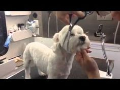 How To Groom Your Dog at Home (Maltese Grooming) - YouTube