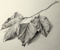 Leafs. Pencil drawing