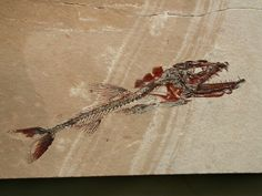 Exquisitely-Preserved Viper Fish Soft Tissue Preservation Name: Eurypholis boissieri (viper fish) Geological Time: Middle Cretaceous, Cenomanian Stage (95 million years ago) Size (25.4 mm = 1 inch): 87 mm long on a 137 mm by 70 mm matrix Fossil Site: Lebanese Lagerstatt, Haqel, Lebanon