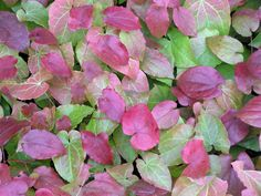 Elfenblume (Epimedium)