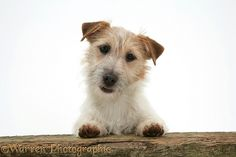 Dog: Jack Russell Terrier bitch photo