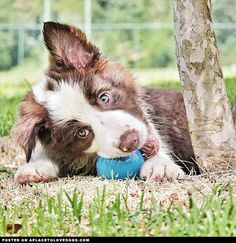 Cute brown and white Border Collie puppy Gaya really loves her ball