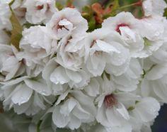 Buy Japanese flowering cherry Prunus Shirotae - Fragrant white flowers: 10 lt pot Delivery by Crocus Spring Flowers, White Flowers, Big Tree, Prunus, Cherry, Japanese, Seasons, Rose, Pink