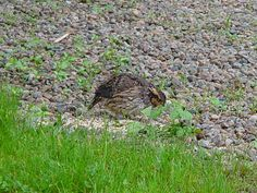 Although we rarely see them now, occasionally a Bob White will pay us a visit at Rabbit Path Habitat.