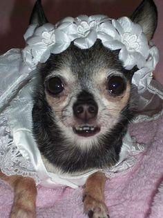 My DC & FB friend, Lisa's late Chihuahua, Blossom