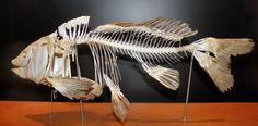 Common Carp Skeleton