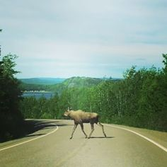 And moose on the highway is no joke. | Moose Are Loose And Living It Up In Newfoundland This Summer