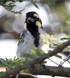 Black-throated Barbet, Tricho-laema melanocephala: Africa