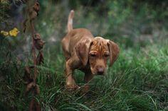 inquisitive little vizsla. Most Beautiful Dog Breeds, Beautiful Dogs, Wirehaired Vizsla, Vizsla Dog, I Love Dogs, Puppy Love, Bird Hunter, Hungarian Vizsla, Dog Games