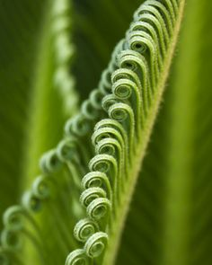 Fern leaves gently unfolding to show us the beauty of new life.
