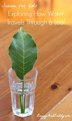 Such a fun science experiment for spring! Includes a FREE printable observation sheet! (Science Experiment for Kids: How Water Travels Through Leaves~ Buggy and Buddy)