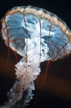 Jellyfish.  Photographed by Indigo Perez.  There is something beautiful and eerie about jellyfish.