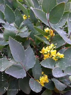 Botanic Name: Berberis repens  Common Name: Creeping Barberry  Size: 2'h x 4'w  Sun: Shade-Part Shade  H20: Occ.H2O/dry