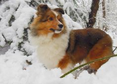 Shetland Sheepdog ~ USA Type   'CasidiTeam {FCI} Unreal Beauty' ~DUKE~ @ 7 months  Caentoo Shelties