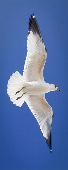 "Ring-billed Gull nesting colonies normally include a small percentage of female couples. Fertilized by a male, each female of the couple lays a clutch of eggs, leading to 5–7-egg ""superclutches."" In this year's Central Park Bird Count, 267 Red-billed Gulls were found."