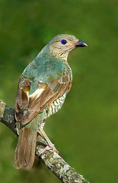 Satin Bowerbird female, Ptilonorhynchus violaceus: Australia's SE coast; the species, like all bowerbirds, has complex & unique courtship behaviors. Males build elaborate bowers decorated w/blue ornaments from flowers to bottle caps; females choose a mate from the quality of display. photo: Gerard Satherley