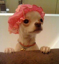 Cute Chihuahua In Bath Wearing Shower Cap