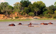 Hippos, on Safari in Tanzania's Selous Game Reserve. Photo by Katherine Rodeghier. Article at http://www.buckettripper.com/on-safari-in-tanzanias-selous-game-reserve/