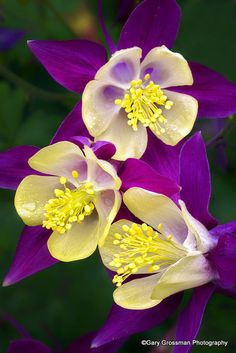 50 Pcs European Columbine Seeds Aquilegia Vulgaris Rare Bonsai Beautiful Flower Seeds For Home Garden Perennial Plants. Exotic Flowers, Amazing Flowers, My Flower, Colorful Flowers, Purple Flowers, Beautiful Flowers, Cactus Flower, Beautiful Gorgeous, Yellow Roses