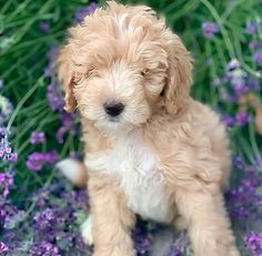 Artisan Doodles is the top Miniature Goldendoodle and Goldendoodle Breeder in the U. Mini Goldendoodle Breeders, Labradoodle Puppies For Sale, Goldendoodle Puppy For Sale, Labradoodles, Goldendoodles, Dogs And Puppies, Miniature Australian Labradoodle, Best Dogs, Utah