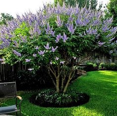 Shoal Creek Vitex Tree (small ornamental)