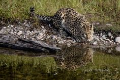"""Amur Leopard Reflection by TL Wilson Photography. An unframed fine art photo print. These are real photographs, not inkjet prints. It will be shipped safely to you in rigid and moisture resistant packaging. SIZES available (Above choose """"select options"""" button then """"select size""""): 8x10, 11x14, 16x20, 20x24, 24x30, 30x40) Orientation: Landscape. Available in Glossy and Lustre finish. All photos listed for sale in this store have been taken and edited by me. All ordered prints will come..."""