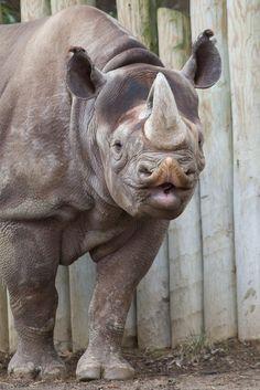 Seiya - Black Rhino @ Cincinnati Zoo & Botanical Garden