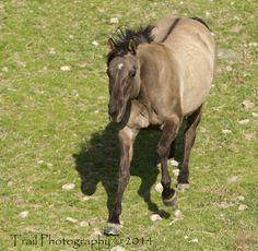 Grulla Quarter Horse (Sage)