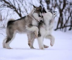 Undeniable Reasons to Own a Siberian Husky Ideas. Irrefutable Reasons to Own a Siberian Husky Ideas. Cute Puppies, Cute Dogs, Dogs And Puppies, Wolf Puppies, Doggies, Baby Dogs, Yorkie Puppies, Fluffy Puppies, Baby Animals