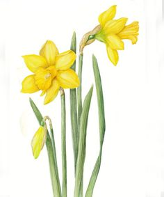 Karen L Bailey – The Society of Botanical Artists Watercolor And Ink, Watercolor Flowers, Watercolor Paintings, Daffodil Flower, Flower Art, Daffodil Images, Botanical Flowers, Botanical Prints, Art Floral