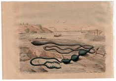 1835 exotic sea life print rare original antique hand colored engraving -  shore scene sea worm snake by antiqueprintstore on Etsy
