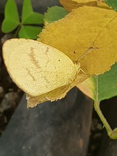 Grass yellow on an old rose leaf.