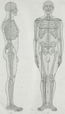 Body proportions - Wikipedia, the free encyclopedia
