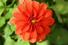 Dahlia Photo:  This Photo was uploaded by becky_cox98. Find other Dahlia pictures and photos or upload your own with Photobucket free image and video hos...
