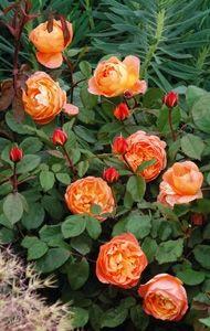 David Austin roses-Lady Emma Hamilton (English rose)