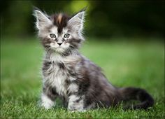 """Maine Coon (Ludmila Pankova """"Tess"""") http://www.mainecoonguide.com/"""