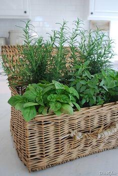 Basket planter for fresh herbs