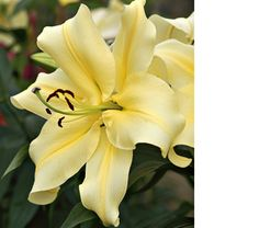 Lilium 'Big Brother®' a hybrid of Oriental and Trumpet Lilies, combined the best features of both, fragrance, large blooms of creamy yellow.