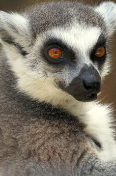 Lemurs are mischievous!! If you've ever dreamed of an intimate experience with African animals, Jamala Wildlife Lodge is the place for you. The ultimate sleepover in Australia's national zoo.