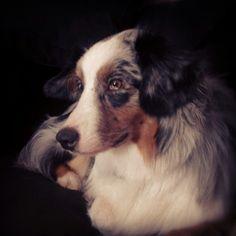 Australian Shepherd Dog Love, Puppy Love, Aussie Dogs, Loyal Dogs, Cattle Dogs, Australian Shepherds, Aussies, Border Collies, Cute Gif