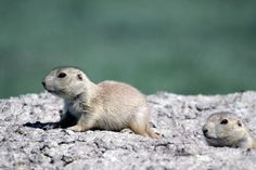 All About the Black-Tailed Prairie Dog Weird But True, Ground Squirrel, Save Animals, Fun Facts, This Is Us, Images, Dogs, Household, Black